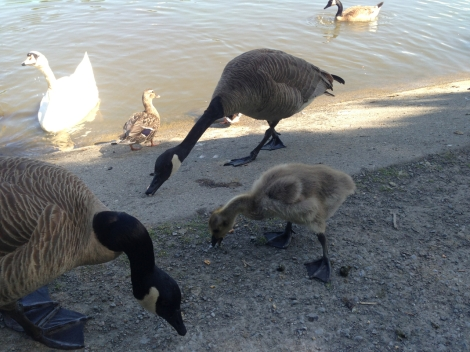 First we fed the ducks, geese and swans. There was even one (very late) new baby goose!