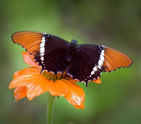Source: https://en.wikipedia.org/wiki/Butterfly
